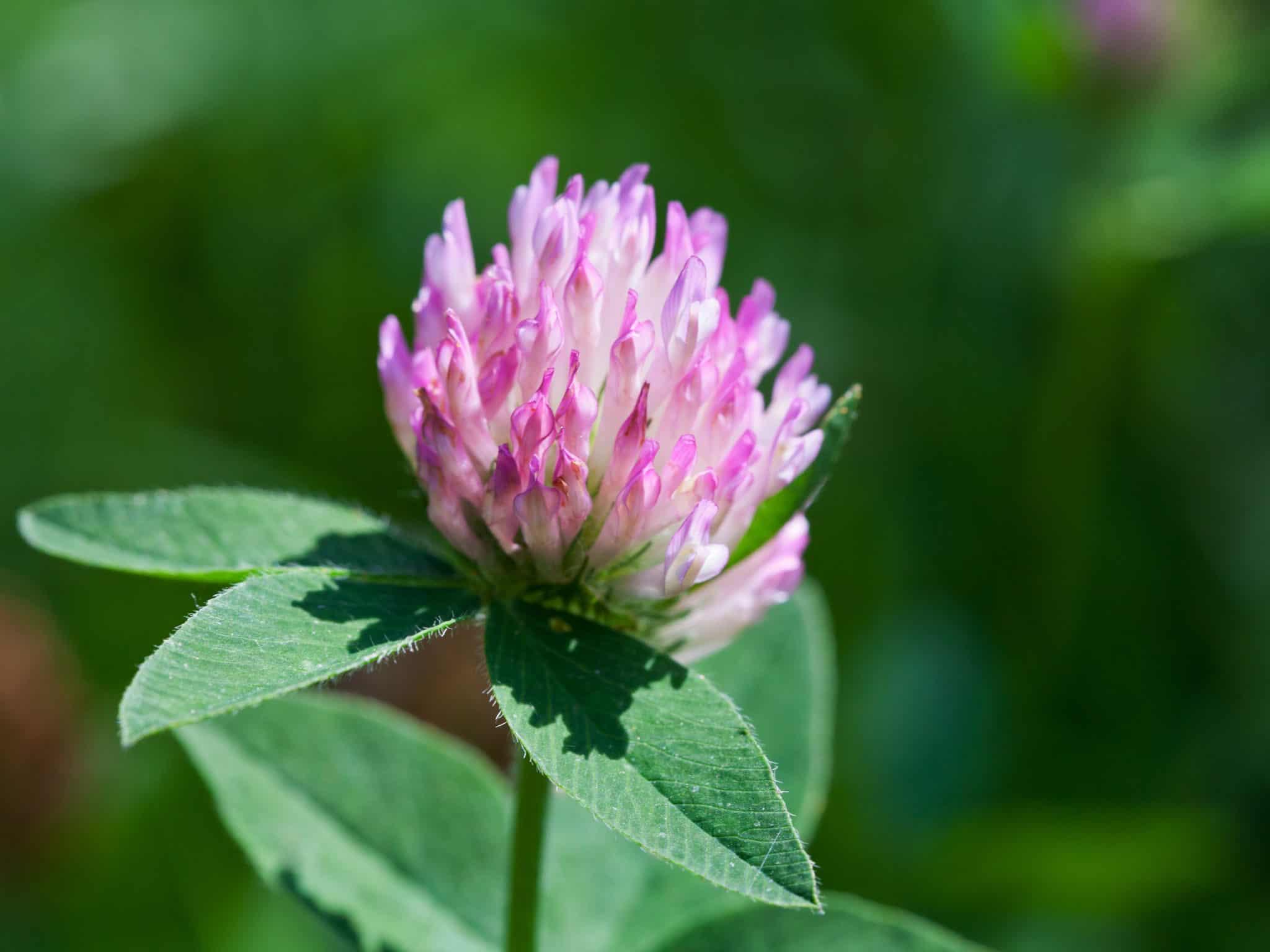 Лечебни растения, използвани в народната медицина за лечение на ревматоиден артрит