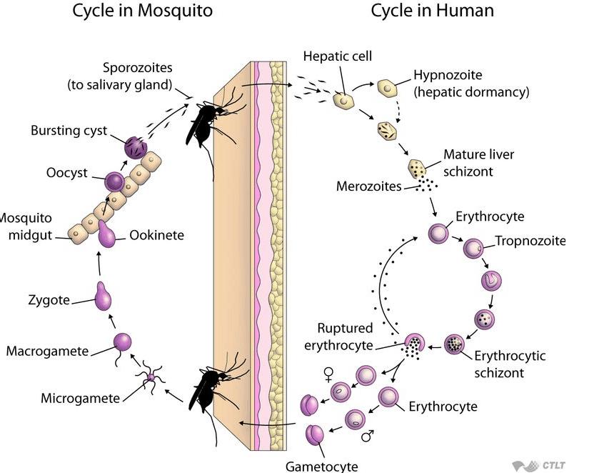От маларията – през алергията – до шизофренията