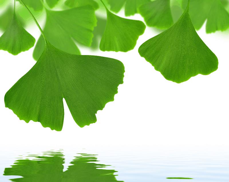 Гинко билоба – най-древното медицинско дърво